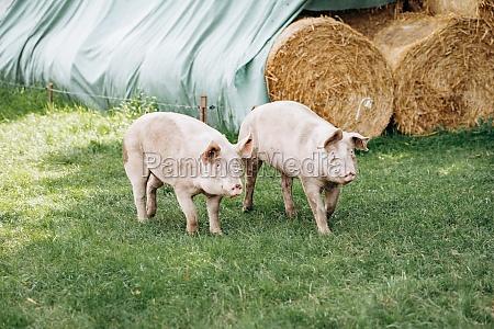 pigs graze on farm in countryside
