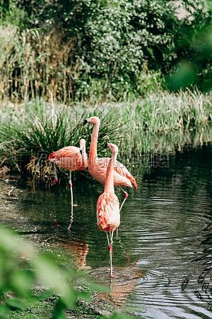 flamingos walk in a small lake