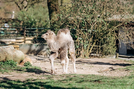 a young two humped camel walks