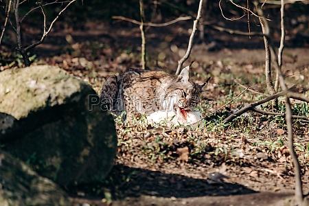lynx eating lynx with prey in