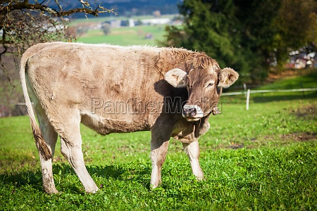 beautiful young cow on pasture