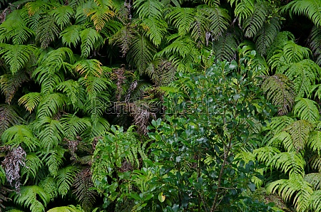 palm leaf ferns parablechnum novae zelandiae