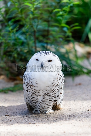 portrait of a beautiful snow owl
