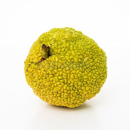 fresh osage oranges or maclura isolated