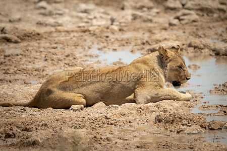 lioness lying on sandy bank of