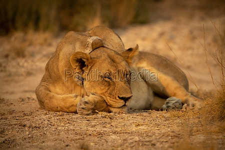 lioness with collar dozes on short