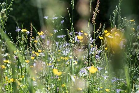 flower meadow in the summer