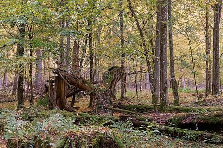 broken old norwegian spruce in autumn