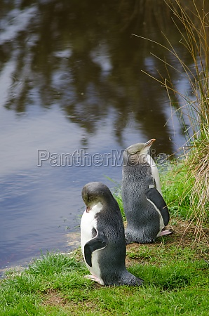 yellow eyed penguins megadyptes antipodes