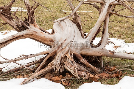 large weathered dead tree roots