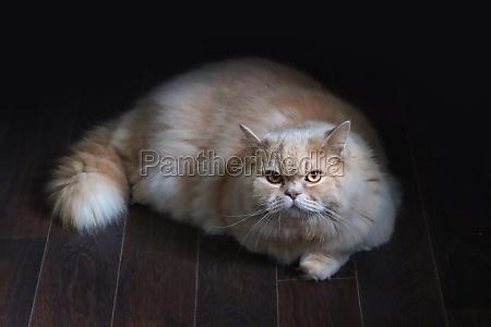 adult cat of the british longhair
