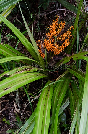 bush lily with fruits