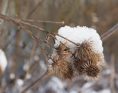 plant snowy winter