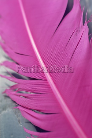 close up of a goose feather