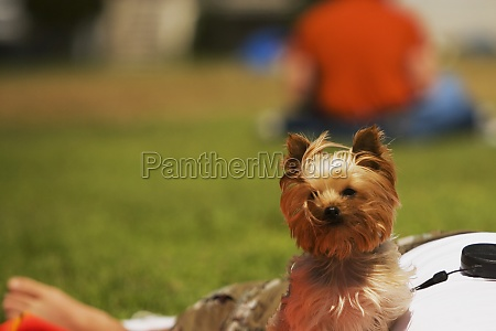 close up of a yorkshire terrier