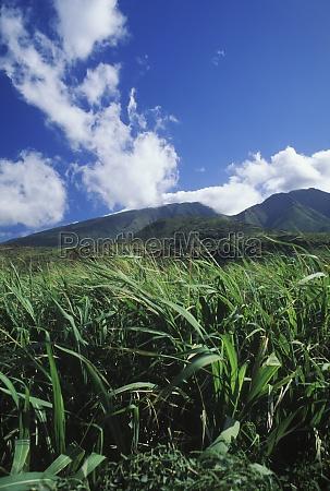 crops growing in a field hawaii