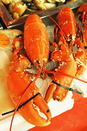 close up of lobsters norway