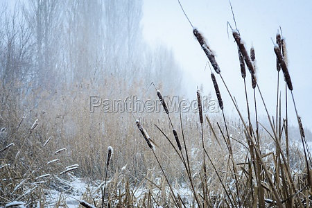 snowfall in the reeds of lake