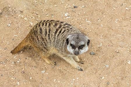 meerkat on guards his territory