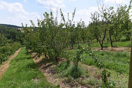 apricot plantation on a sunny summer