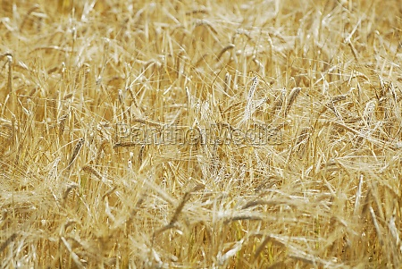 closeup of ripe wheat crops