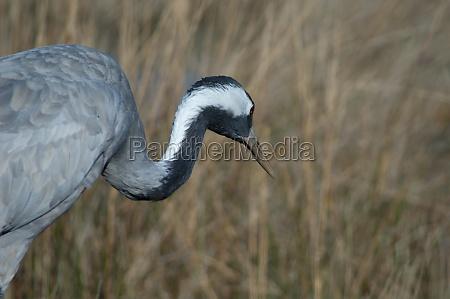 common crane grus grus in a