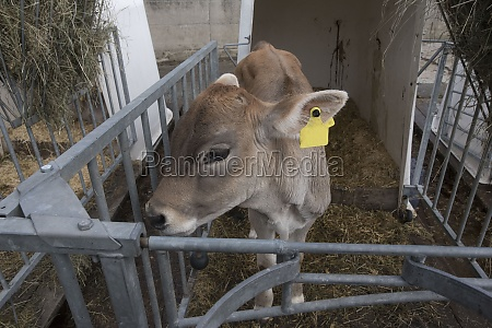 a young cow or calf n
