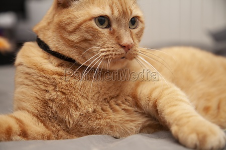 yellow cat resting playfully