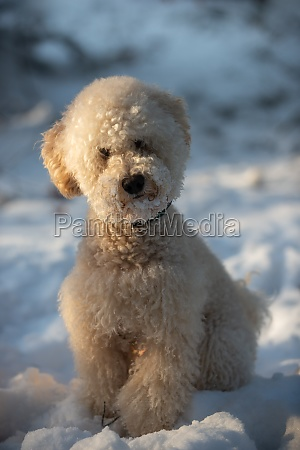 apricot miniature poodle sits in the