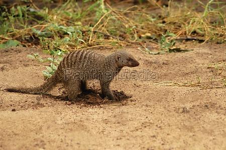 banded mongoose mungos mungo digging in