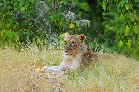 lioness panthera leo resting in a