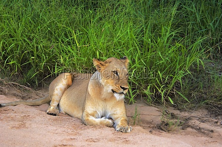 lioness panthera leo resting in dry