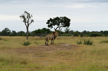 lion panthera leo standing in a