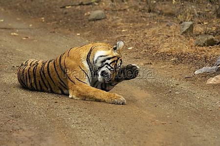 tigress panthera tigris lying on the