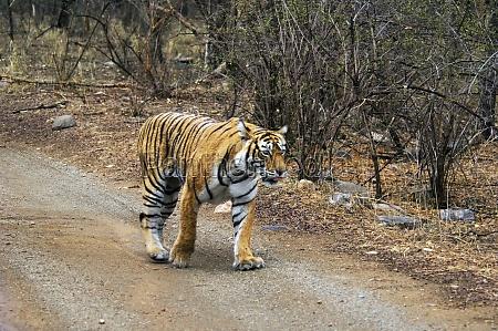 tigress panthera tigris walking on the