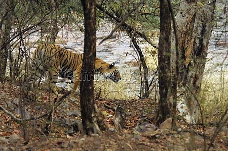tigress panthera tigris walking in a