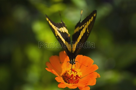 close up of a giant swallowtail