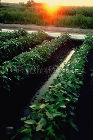 irrigation of soybean fields