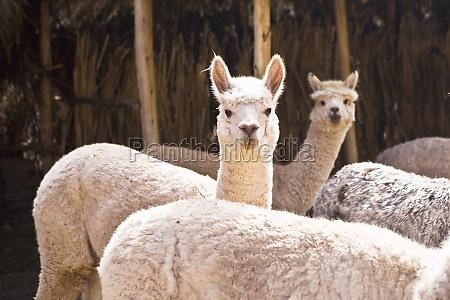 five alpacas aguanacancha peru