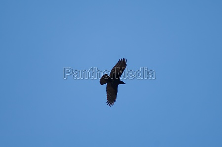 carrion crow corvus corone flying in