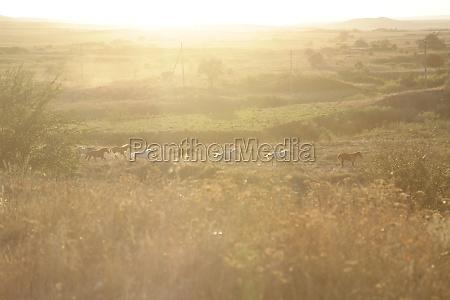 running herd of horses steppe landscape