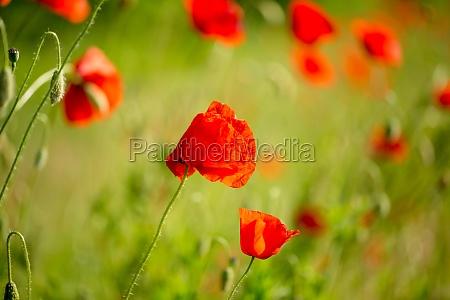 poppy flower close up summer landscape