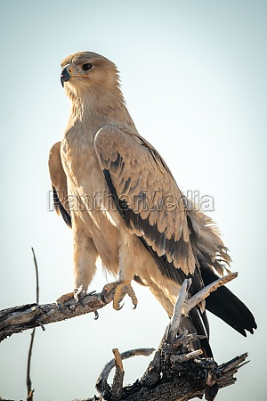 pale tawny eagle perched on dead