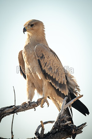 pale tawny eagle perches on dead