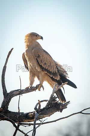 pale tawny eagle turns head on