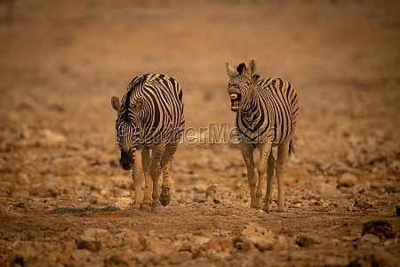 plains zebra barks beside another among