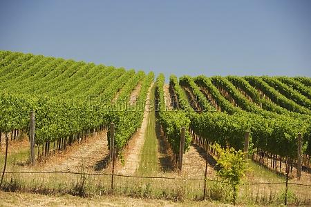 vineyard in a rolling landscape