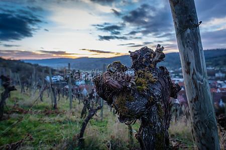 old gnarled vine in vineyard in