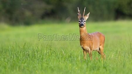 roe deer standing on grassland in