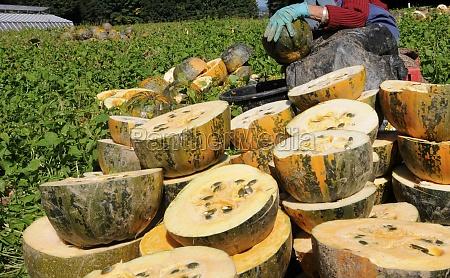 pumpkin harvest on pumpkin field